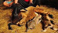 Köpek Yavrularına Koyun Anne (İlginç ama Gerçek)