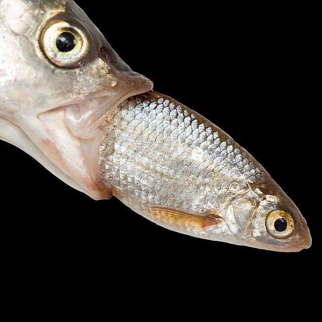 17. Büyük balık küçük balığı gerçekten böyle mi yutar acaba?
