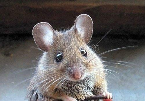 how to get rid of mice inside walls