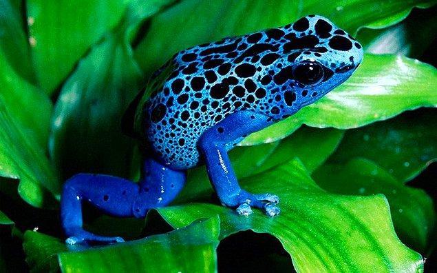 1. Dort Poison Frog - Zehirli Ok Kurbağası