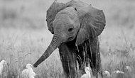 Dünya Fil Gününde Filler Hakkında Pek de Bilinmeyen 11 Şaşırtıcı Bilgi