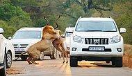Kovaladıkları Antilopu Trafiğin Ortasında Yakalayıp Parçalayan Aslanların Dehşet Şovu