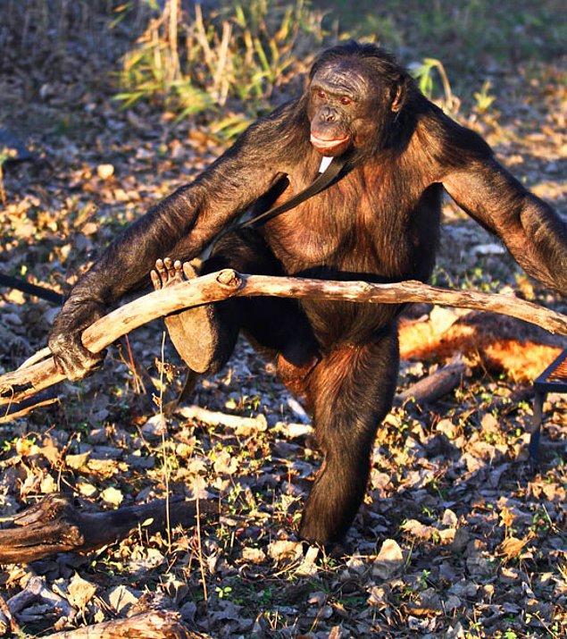 Kanzi, topladığı yakacak odunlarını daha küçük boyutlara getirmek için kırıyor.