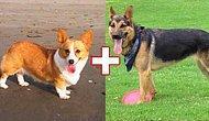 Farklı Köpek Cinsleri Çiftleştiğinde Ortaya Çıkan 10 Köpek Türü