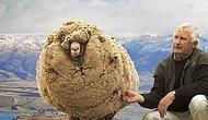 Koyunların Spartaküs'ü: Kırpılmamak İçin Kaçıp 6 Yıl Dağda Kalan İsyankar Shrek