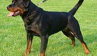En Güçlü 10 Köpek Cinsi