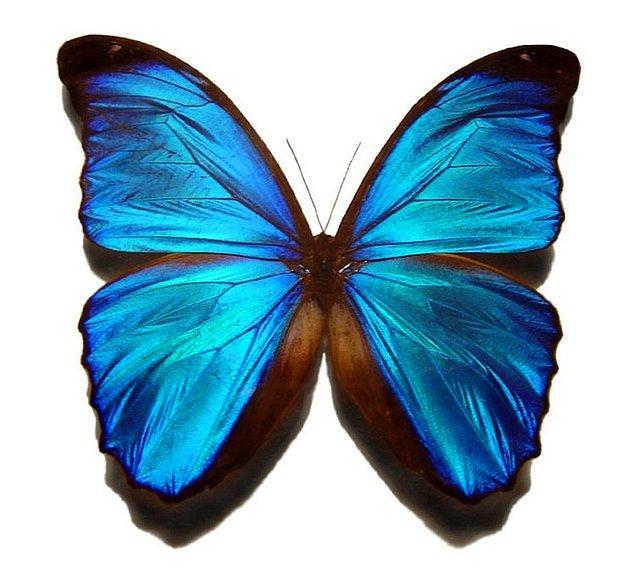 1. Mavi Morpho Kelebeği
