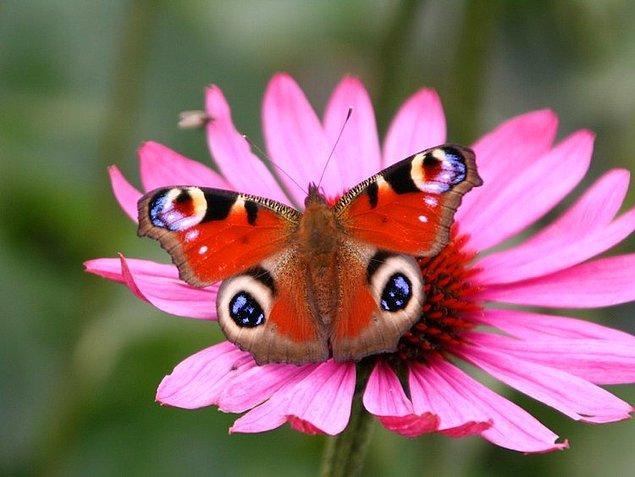 4. Tavus Kelebeği