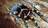 Tarantulaları İğrenç Tüylü Yaratıklar Olarak Görenlerin Fikrini Değiştirebilecek 12 tür