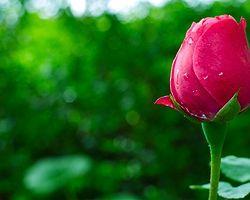 Gülün kalbine odaklanmaya çalışın
