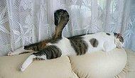 """Uyku Pozisyonlarıyla Adeta """"Uyurken Ben Ben Değilim"""" Diyen 39 Kedi"""