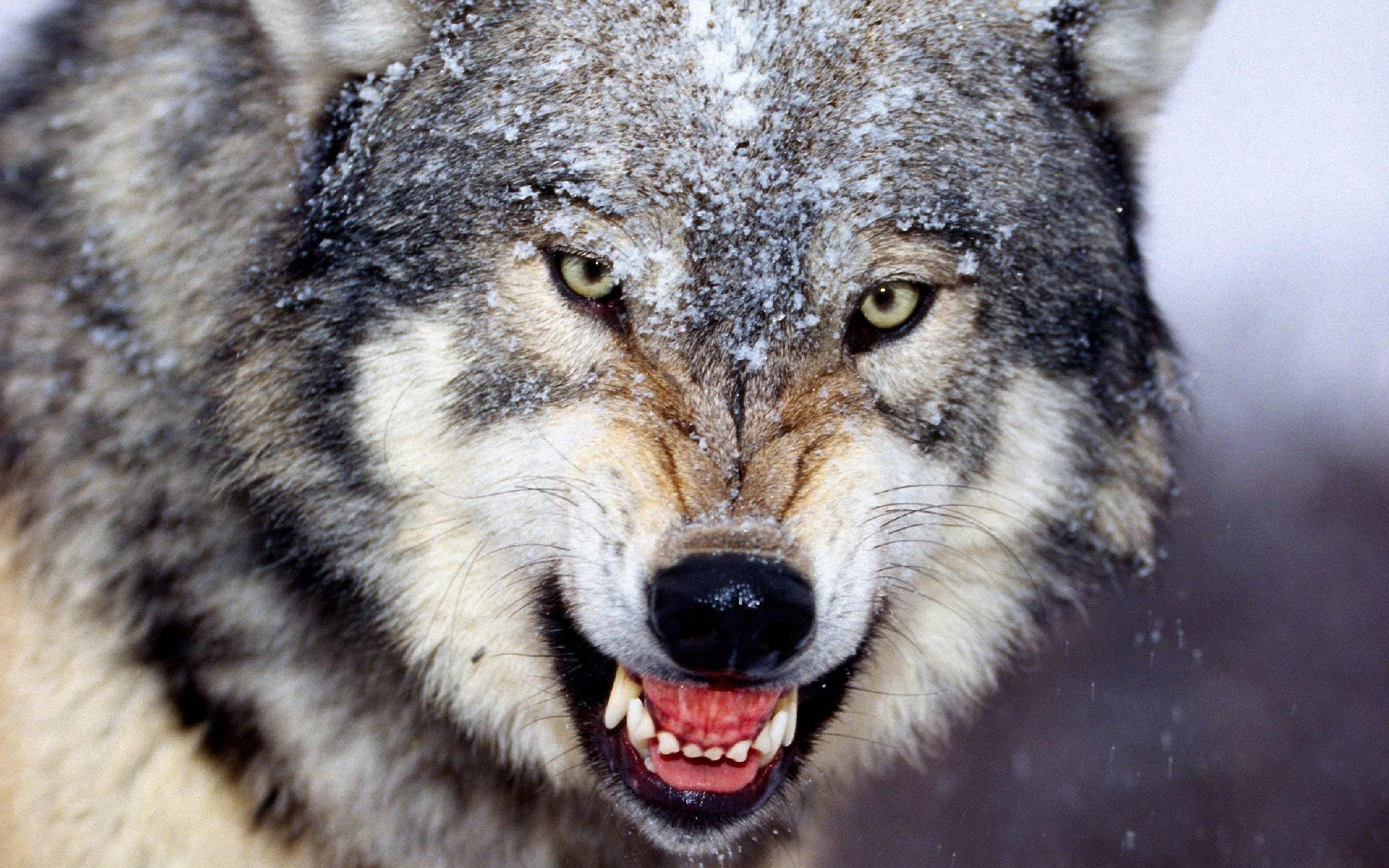 волки крутые картинки