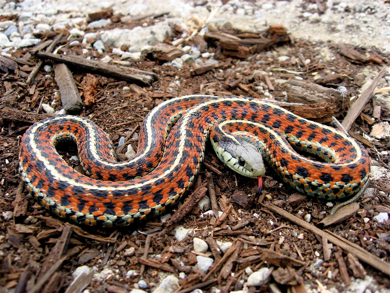 Член в виде змеи 21 фотография