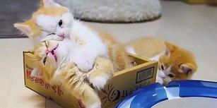 Aşırı Minnoşluğuna Rağmen Kardeşini Oyun Oynamaya İkna Edemeyen Isırılası Kedi