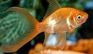 Japon Balığı Hakkında 10 İlginç Bilgi