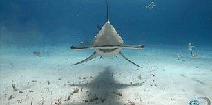 Köpekbalıklarının Sizi Çok Şaşırtacak 10 Özelliği
