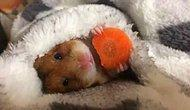 Yattığı Yerden Havucunu Yiyen Hamsterın Isırmalık Halleri