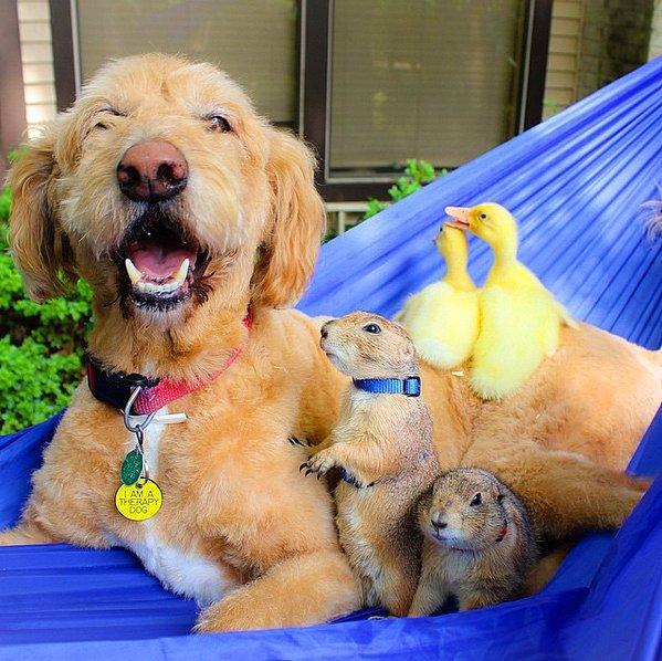 Компания из луговых собачек, утят и добродушного пса.