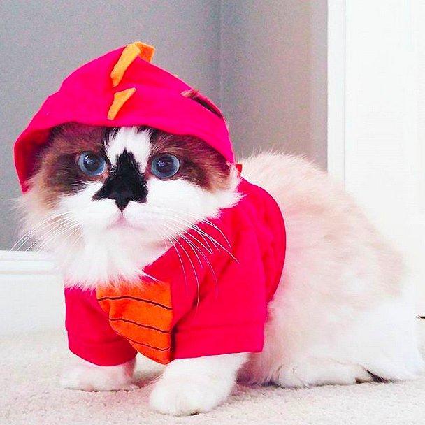 Альберт, кот породы Манчкин.