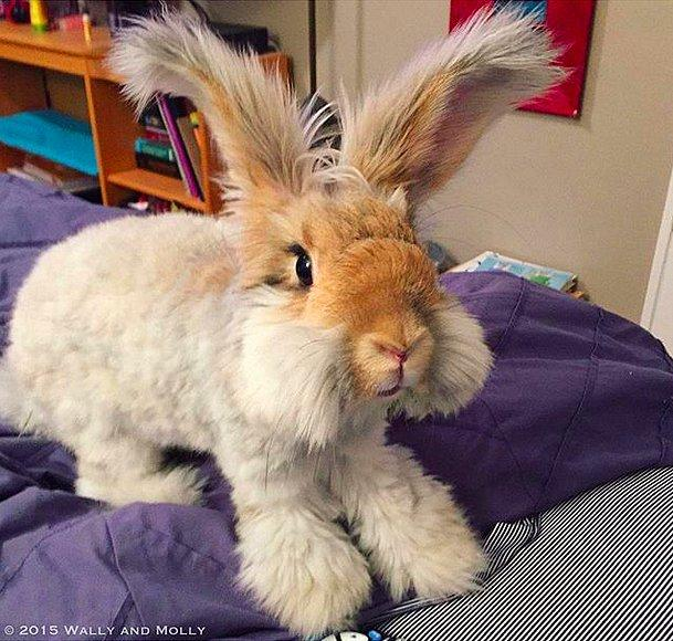 Кролик Уолли.