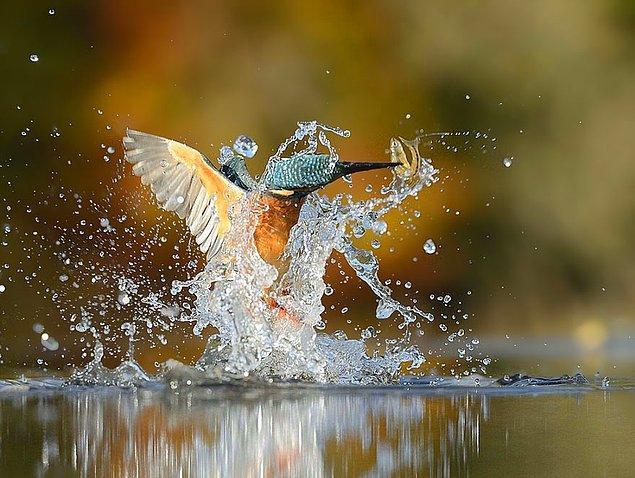 """«Чтобы сделать такое фото не только мне нужно было оказаться в правильном месте в нужной час, но и самой птице выполнить безупречный нырок в воду""""."""