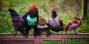 Tavuklar Soğuk Havada Üşümesin Diye Onlara Minik Kazaklar Ören Dünya Tatlısı Anne ve Kız