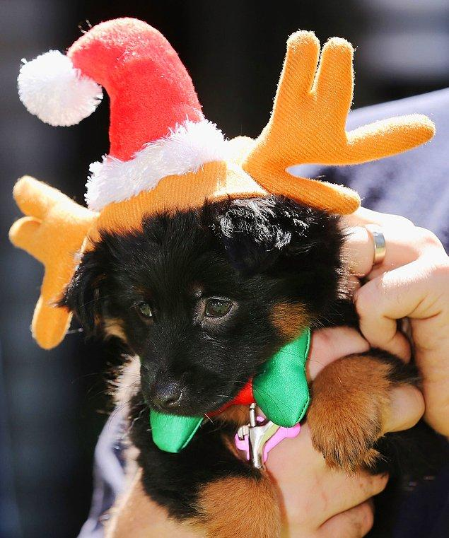Собаки в рождественских нарядах создают праздничное настроение