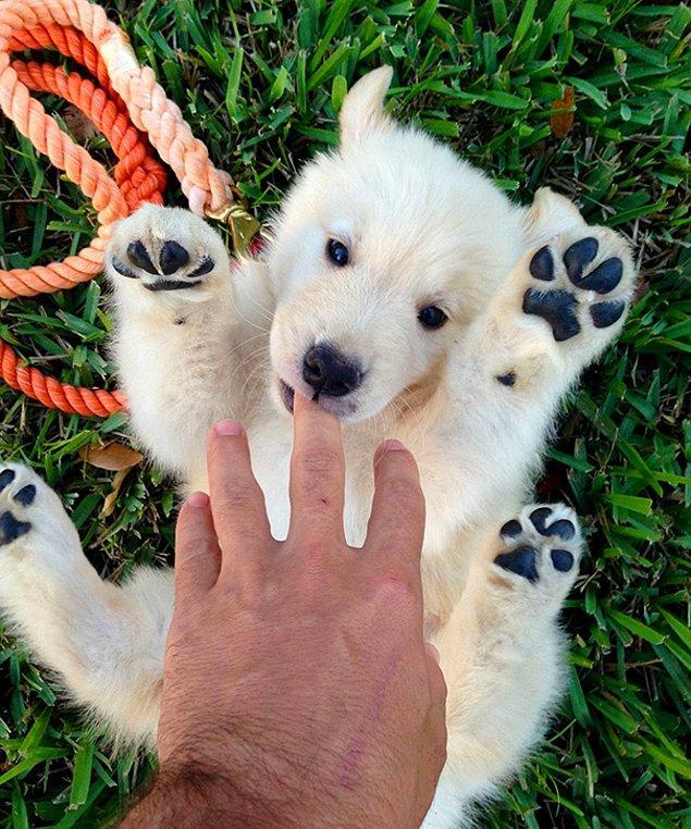 Это щенок или белый полярный медвежонок? Сразу и не скажешь.