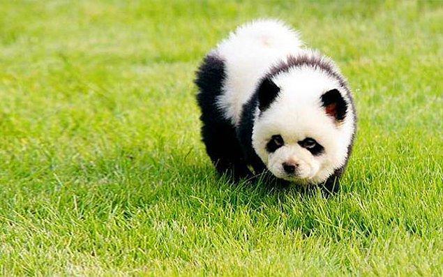 Чау-панда.