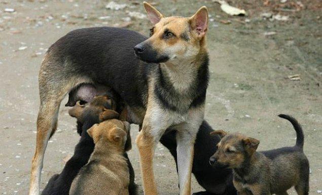 Kısırlaştırma daha fazla muhtaç ve hasta hayvan ölümünü engellemek için yapılıyor.