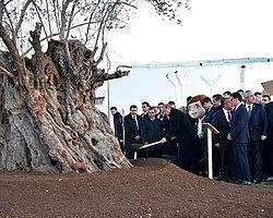 İzmir'den Sökülen 1000 Yıllık Zeytin Ağacının Düşündürdükleri | İsmail Topkaya | sendika.org