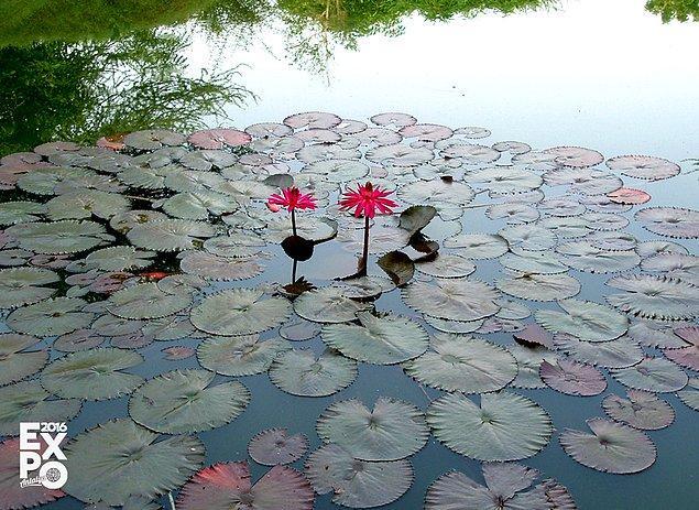 9. Kendini temizleme özelliğine sahip tek çiçek çamurlu ortamda yetişen Lotus çiçeğidir.