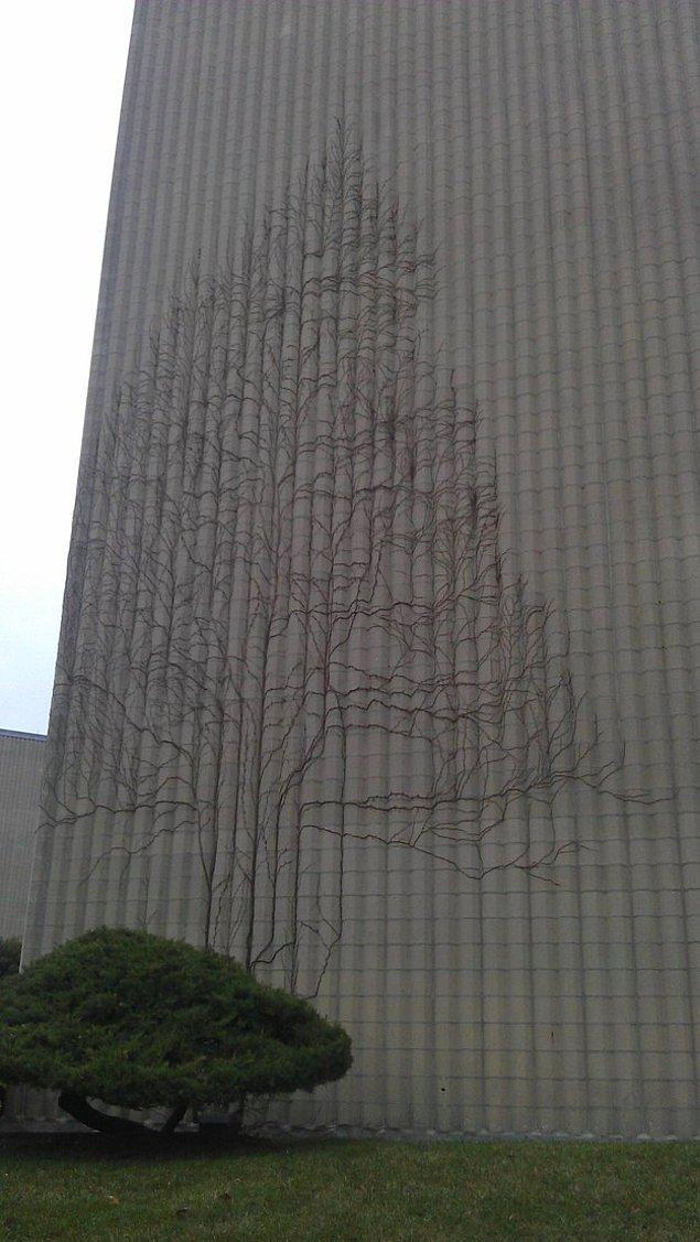 6. Bina yüzeyinde ağaç gibi yetişen sarmaşık