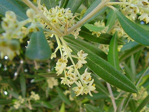 2. Ağaçları ilkbahar ayında küçük beyaz çiçek kümeleri üretir.