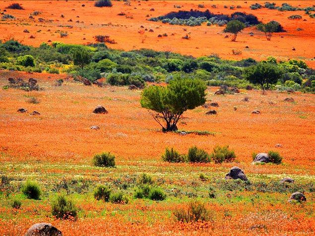 Намакваленд - район в Намибии и Южной Африке, протянувшийся на 600 миль. Каждую весну здесь цветет множество белых и оранжевых маргариток. Трудно поверить в то, что на Земле все еще сохранилась вот такая девственно чистая красота.