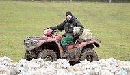 Köpeklerin Kovaladığı 116 koyun telef oldu.