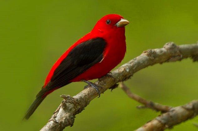 19. Kırmızı Tanager