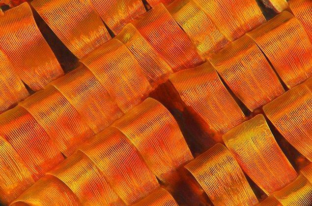 13. Madagaskar Güvelerinin Pulcukları