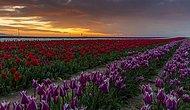 Konya Ovası'nı Renk Cennetine Dönüştüren Muazzam Lale Tarlasından 18 Eşsiz Fotoğraf