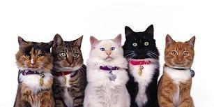Senin Hangi Kedi Irkından Olduğunu Tahmin Ediyoruz!