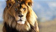 Senin Ataların Hangi Büyük Kedi Irkına Dayanıyor?