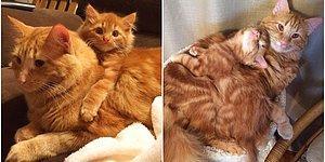 Kendisinin Küçük Bir Kopyası Olan Yavruyu Sahiplenen Kediyle Tanışın!