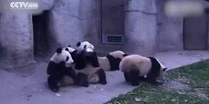 Yemek Yerken Kendilerini Kaybeden Obur Panda Sevimliliği Diye Bir Şey Var!