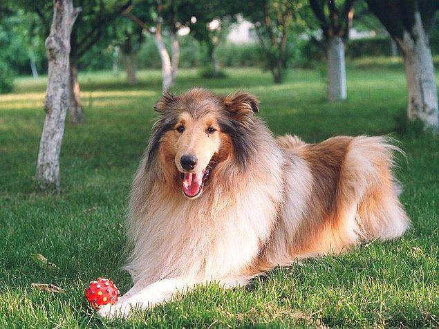 1. Lassie