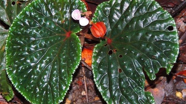 Geçen yıl keşfedilen bitkiler arasında şimdiye kadar bilinmeyen 90 begonya türü de var