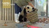 Arıza Pandalar Evlerini Temizlemek İsteyen Bakıcıya Dünyayı Dar Ediyorlar