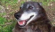 Mutluluğu Size de Mutluluk Katacak: Karnı Okşanırken Kendinden Geçen Köpek