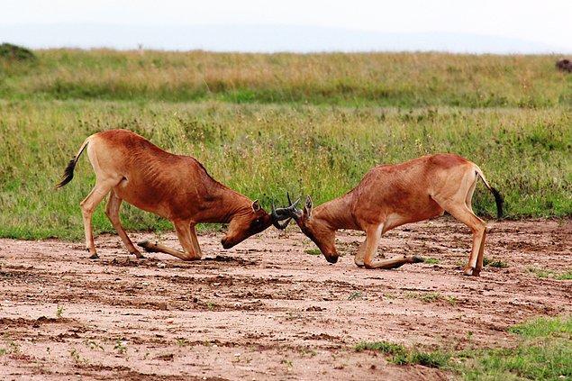 9. Türiçi şiddet, bazı özel türleri saymazsak, hayvanlar tarafından yalnızca bir eş için yarışma durumunda ve genleri aktarma şansı yakaladıklarında mümkün oluyor.