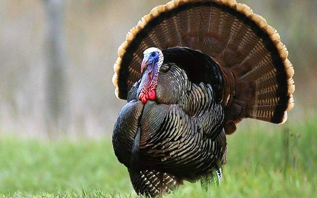 """20. Hindi demişken... Bu kuşun Hindistan'dan gelmesi nedeniyle kuşa """"Hint kuşu"""" denmiştir."""