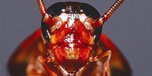 Hamam Böcekleri Hakkında Muhtemelen Daha Önce Duymadığınız 15 Enteresan Bilgi